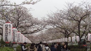 A pathway lined with cherry blossoms and white paper lanterns