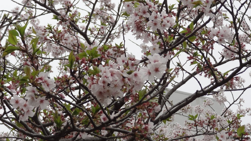 A few branches of cherry blossoms in clusters